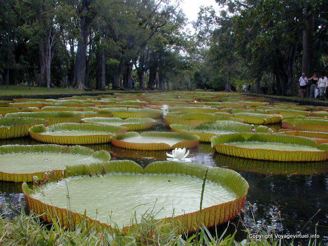 Giant water lilies Victoria Amazonica, Pamplemousses, Mauritius.