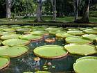 Lily pads measuring up to 3 meters, Pamplemousses, Mauritius.